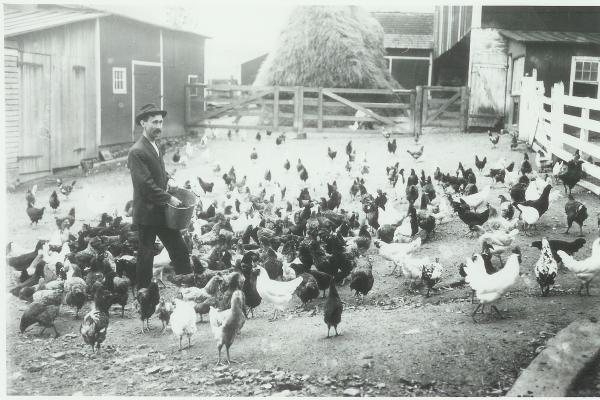 Farmer feeding chickens.