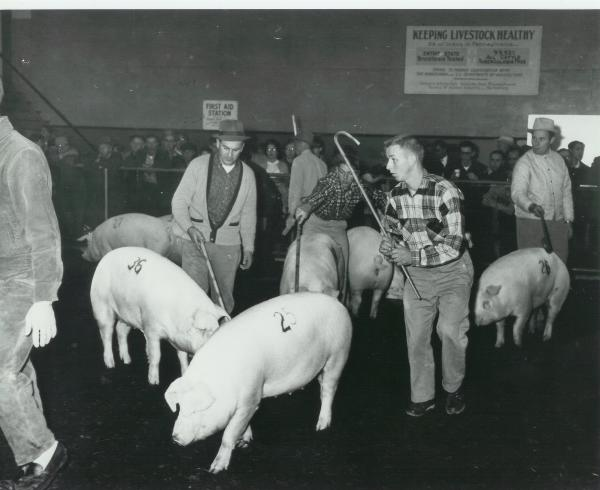 Chester White photo at Farm show