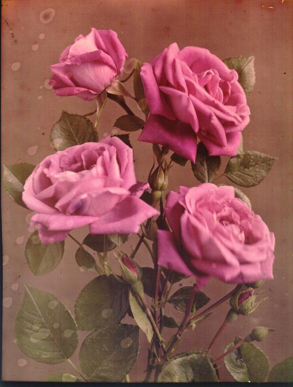 Rose-Climbing American Beauty