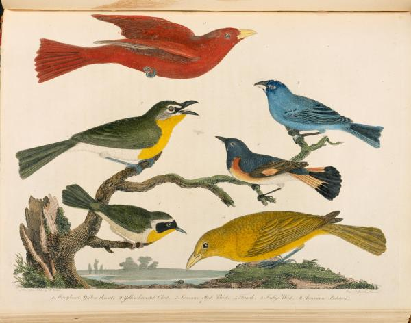 Painting of six birds. In the top left hand corner a cardinal is in flight. In The lower left through the center of the painting four birds are perched upon tree branches. In the lower right hand corner a bird grouses at the ground.