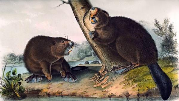 Colored illustration of the American beaver by John James Audubon, first published in 1854.