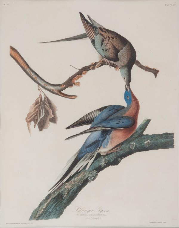 Egraving of a pair of passenger pigeons painted by John James Audubon in Pennsylvania in 1824.