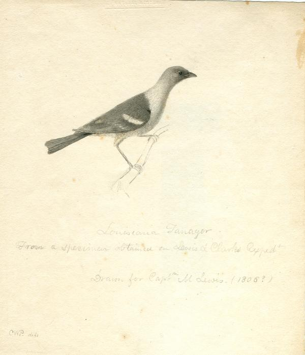 Charles W. Peale, Sketch of Lewis and Clark specimen, Louisiana Tanager APS MSB P31.