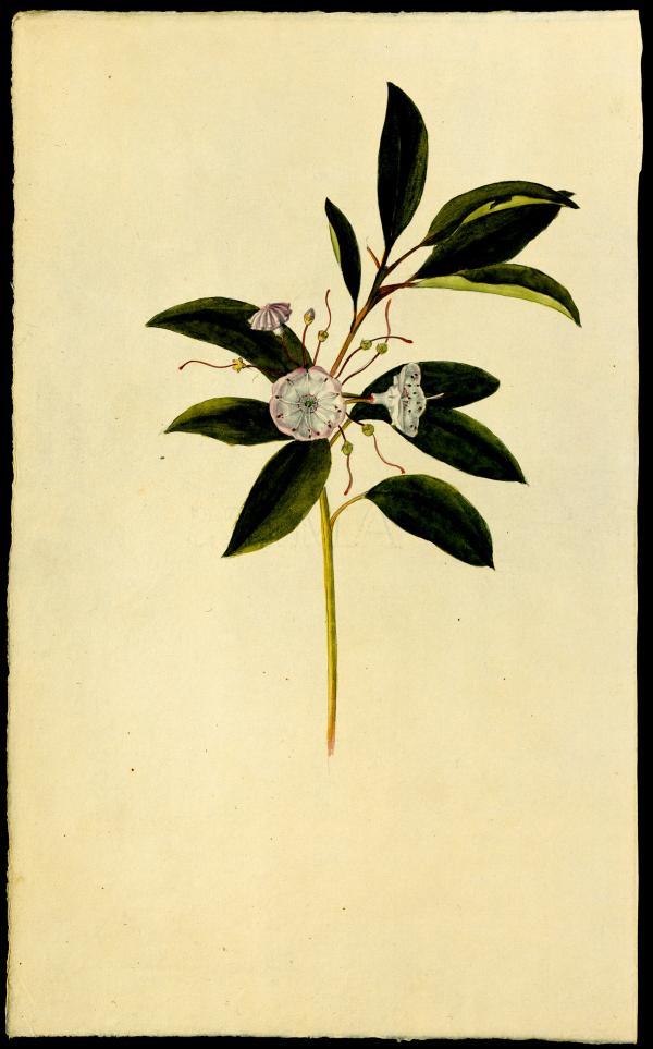 Frederick Pursh,  Mountain Laurel [Plate 14, Catalogue] from Flora Americae Septentrionalis  Kalmia Lataforia