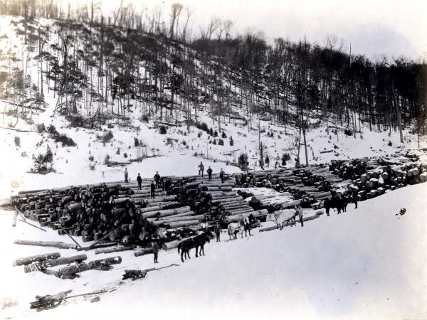 Massive rows of logs with men standing along the tops of the piles and along the base of the piles. At the base of the log piles are teams of horses and oxen as well.