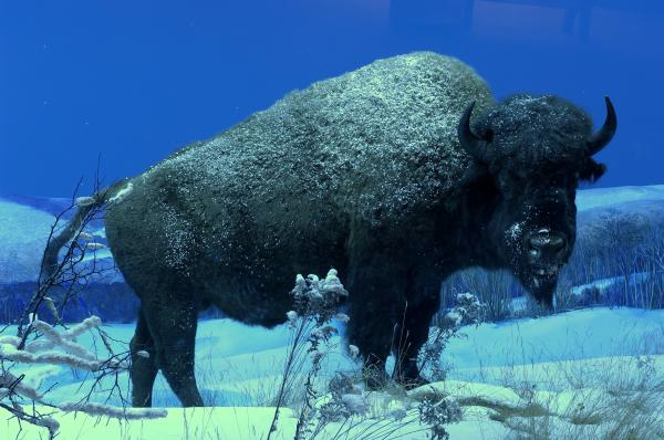 Buffalo featured in Pennsylvania State Museum exhibit gallery.