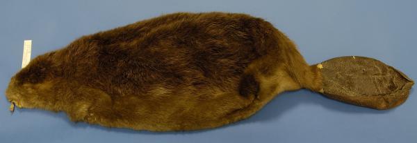 Image of a beaver pelt.
