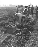 Farmers picking potatoes and buyers in background
