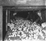 Two men picking mushrooms in E. H. Jacobs Co. Lower Plant , 12/31/1933