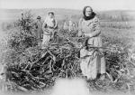 Women working in corn harvest