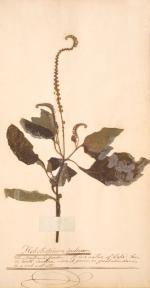 Image of plant Heliotropium indicum