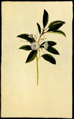 Frederick Pursh,  Mountain Laurel [Plate 14, Catalogue] from Flora Americae Septentrionalis  Kalmia Lataforia