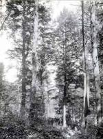 Original forests in Pennsylvania consisted of trees of a size rarely seen today. This 1923 photograph shows old growth trees on a small tract of land that was protected from logging. Note the comparative size of the man standing next to the tree, in the center of the photograph.'