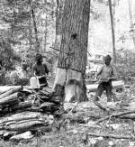 Two loggers at work taking down a giant Hemlock tree. Old growth Hemlock trees were often four feet in diameter.'