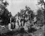 Apple pickers: men, women, and children in the field, with apples in barrels.